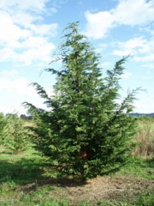 trees-leyland-cypress