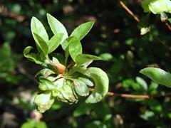 Exobasidium_leaf_gall8